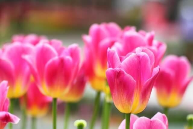 咲き揃うバイカラーチューリップの近影